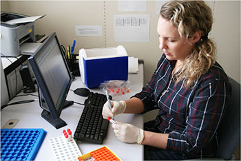 Stephanie Roeter, Washington State University graduate student and co-author, processes saliva samples to measure stress hormones. Photo: Patricia Pendry, WSU