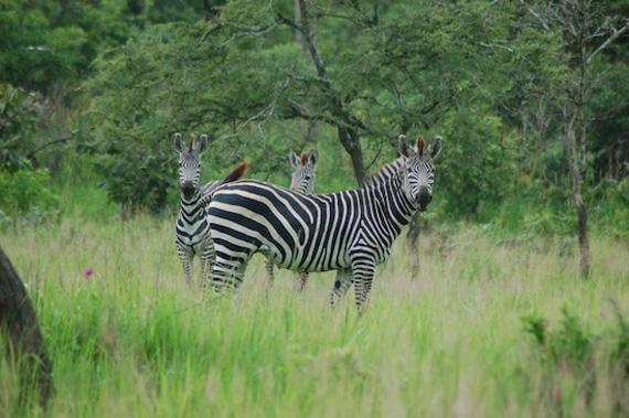 Scientists at the University of California, Davis, have learned why zebras, like these plains zebra in Katavi National Park, Tanzania, have stripes. Photo: Tim Caro/UC Davis