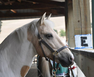 Apache has bounced back after a complex and challenging case for UC Davis veterinarians.