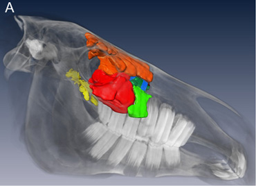 Three-dimensional models of the right side of a 3-year old Warmblood mare (lateral view). The segmentation results of paranasal sinuses and sinonasal channels and the volume rendering of the bony structures of the head are shown in A, above. The enlargement  below, B, visualizes the entrance of the sinonasal channels into the paranasal sinuses. The different colours identify the different structures.