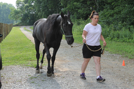 Dutch, a sored Tennessee Walking Horse rescued from the New Holland Auction.
