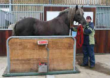Rhia pops on the scales for the bad news. Photo: World Horse Welfare