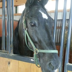 The HSUS and Omega Horse Rescue acquired Tennessee walking horse, now named Dutch, from a livestock auction.