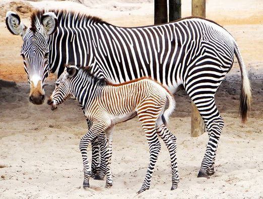 One of the Grevy's Zebra foals born on August 12 at Gulf Breeze Zoo in Florida.