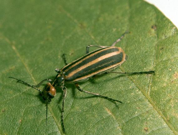 The striped blister beetle. Photo: Clemson University - USDA Cooperative Extension Slide Series, Bugwood.org