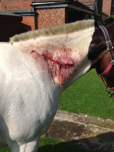 Tommy required 90 stitches in his neck wound. British police are investigating. Photo: Durham Constabulary