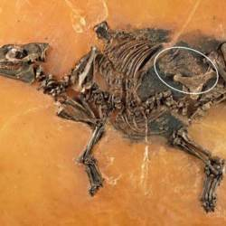 Researchers describe well-preserved remains of ancient horse fetus