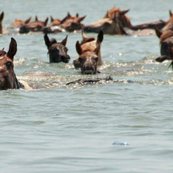 Mystery solved: Assateague Island's wild ponies have Spanish origins