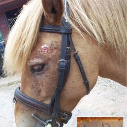 Cure closer for sweet itch in horses