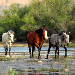 Advocates for Arizona's Salt River horses drop lawsuit