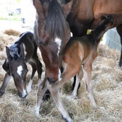 Double whammy: Meet New Zealand's equine twins, Poppet and Fudge