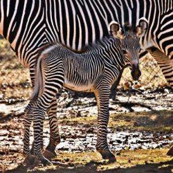 17th Grevy's Zebra foal for Oklahoma Zoo