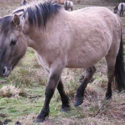 Inbreeding rises in Polish Konik horses, but genetic diversity still high