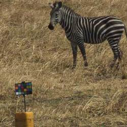 Can you see what I see? Camouflage not behind zebras' stripes – researchers