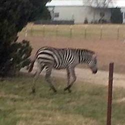 Zebra takes a New Year's Day wander in Texas