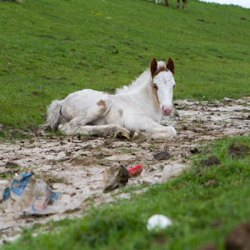 Up to 40% of Britain's foal crop may miss out on microchipping, passports