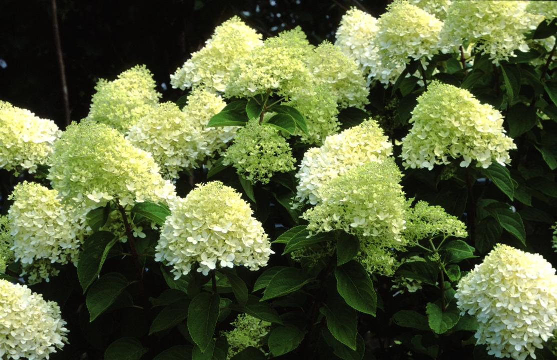 Hortensia Endless Summer Kopen Hortensia Forever And Ever Wit