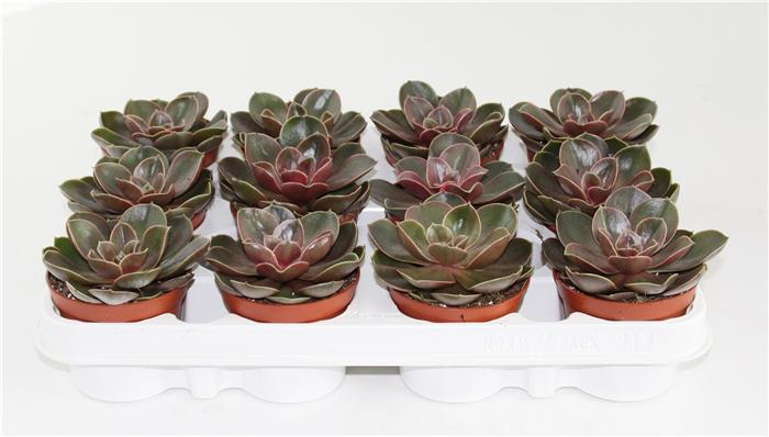 Mobilier Exterieur Nantes Echeveria Magic Red - Horticash