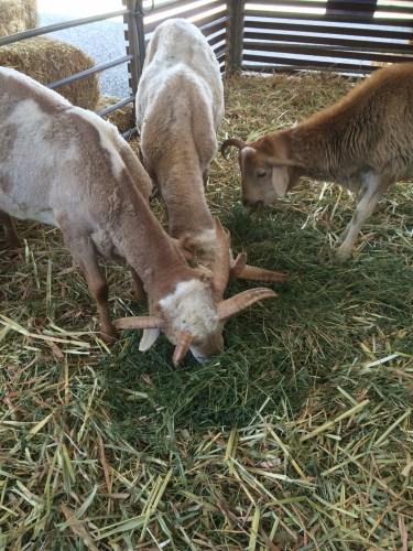 Four-horned sheep