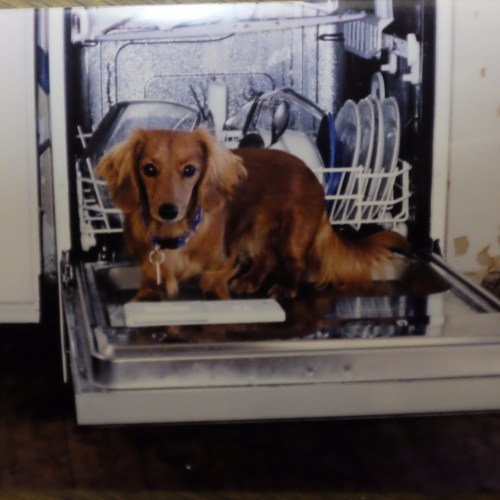 Rosie playing in the dishwasher