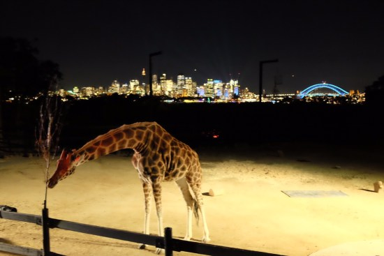 The giraffes were still up and about