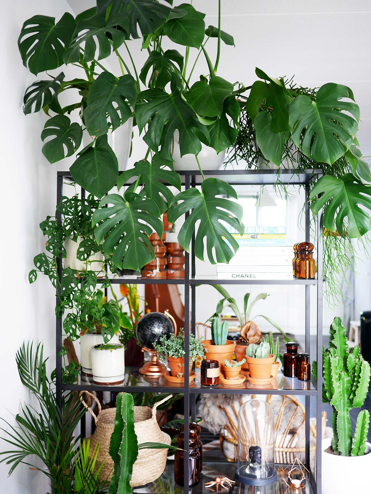 Klimplant Woonkamer Monstera Care Guide How To Grow A Huge Monstera Fast