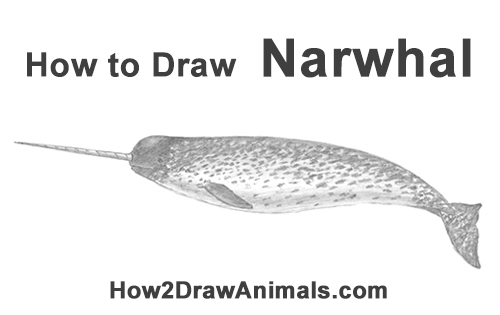 Narwhal Wallpaper Cute How To Draw A Narwhal