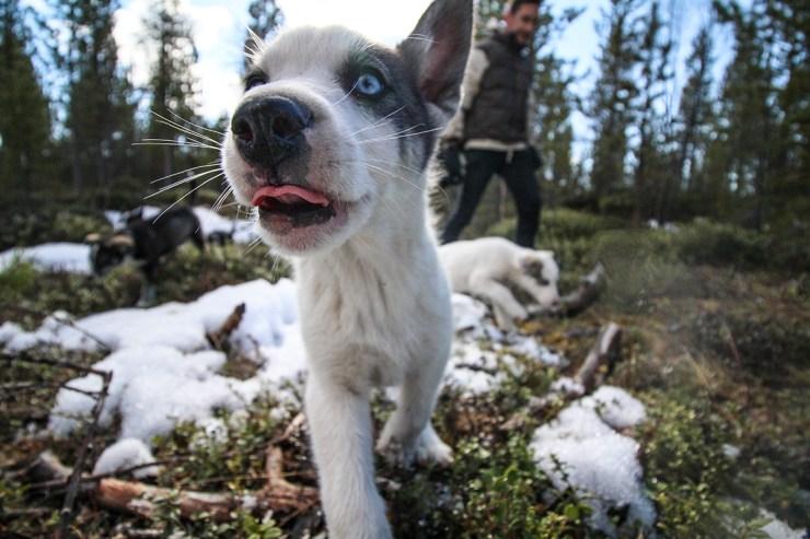 Husky Puppy Walk 4