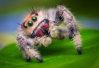 Female_Jumping_Spider_-_Phidippus_regius_-_Florida