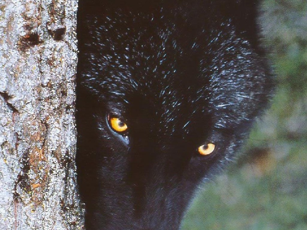 Black Wolf Wallpaper Beautiful Black Wolf Wallpaper Howling For Justice