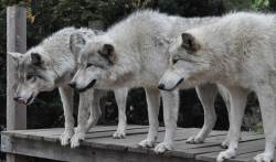 Small Of Famous Wolf Names