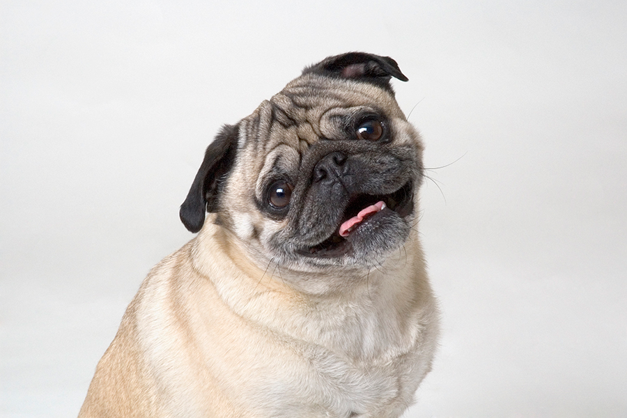 Vodafone Wallpaper Hd Facts About Pugs