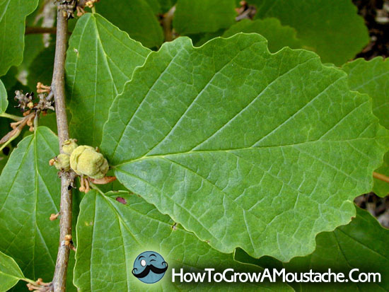How to Make Witch Hazel