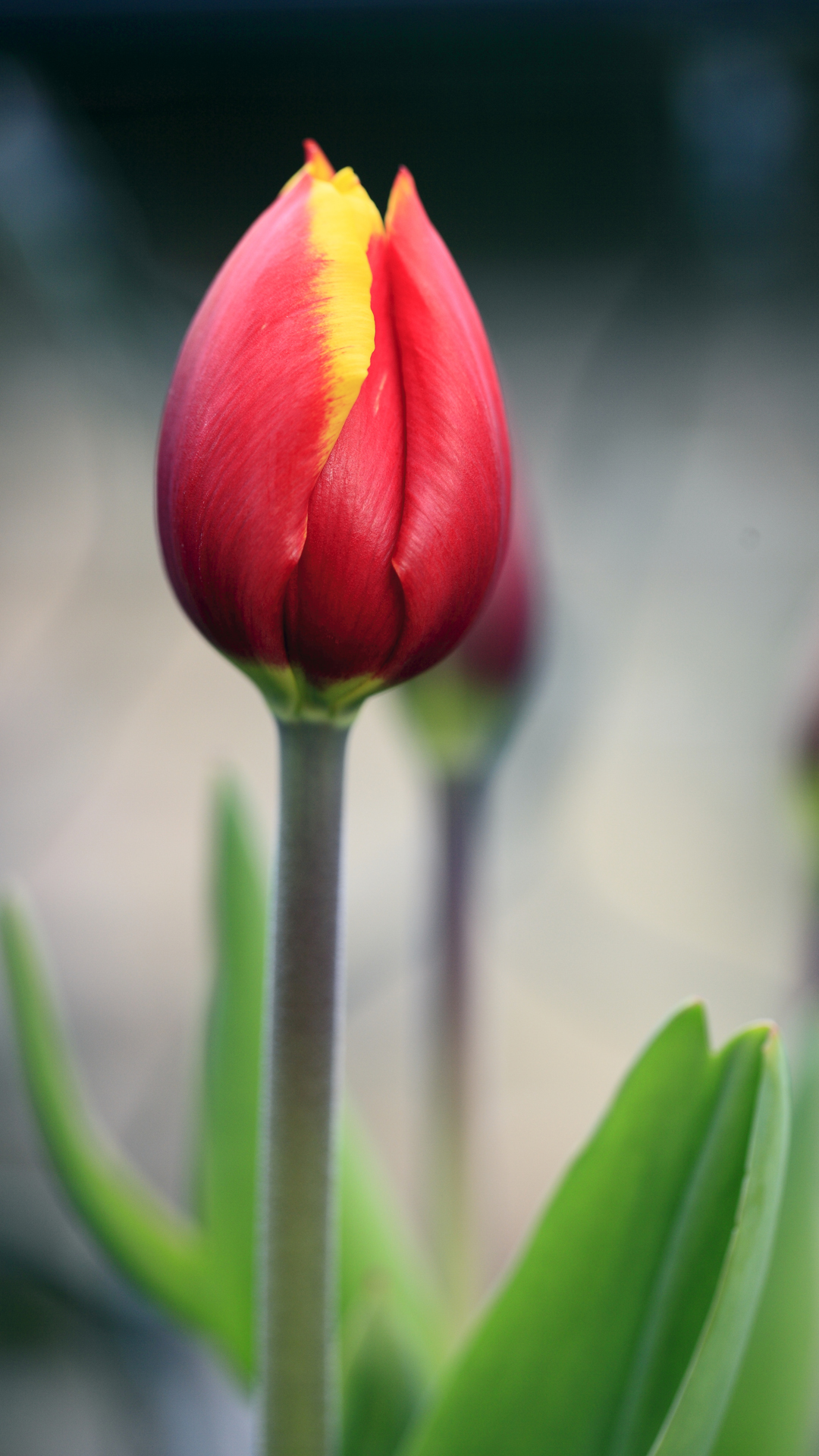 Htc One M8 Wallpaper Hd Red Tulip Best Htc One Wallpapers Free And Easy To Download