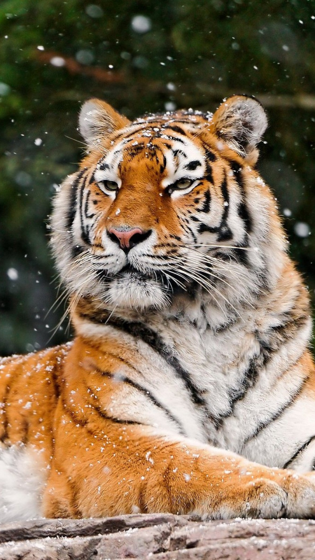Tiger Animal Wallpaper Snow Tiger Best Htc One Wallpapers Free And Easy To