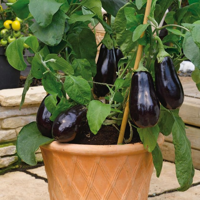 Growing Grafted Aubergine Plants