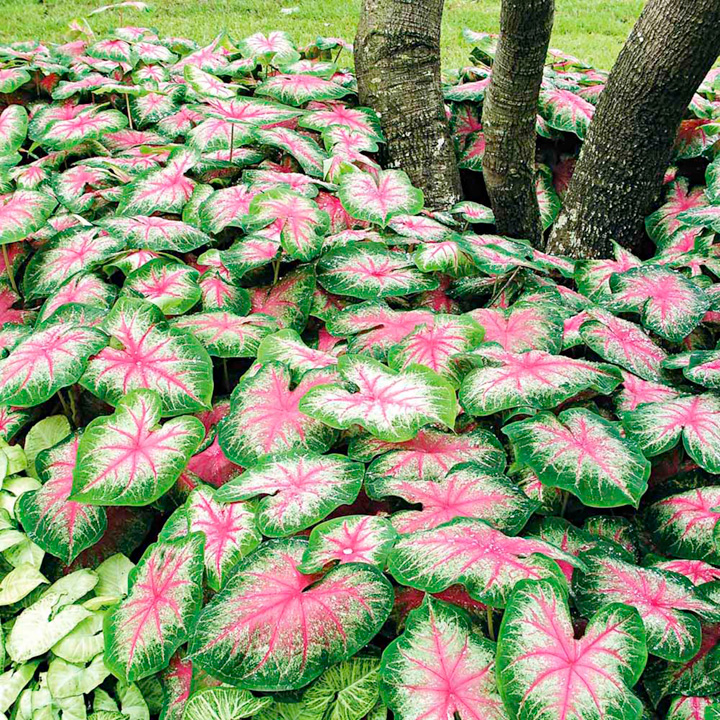 Caladium Bulbs Growing Instructions