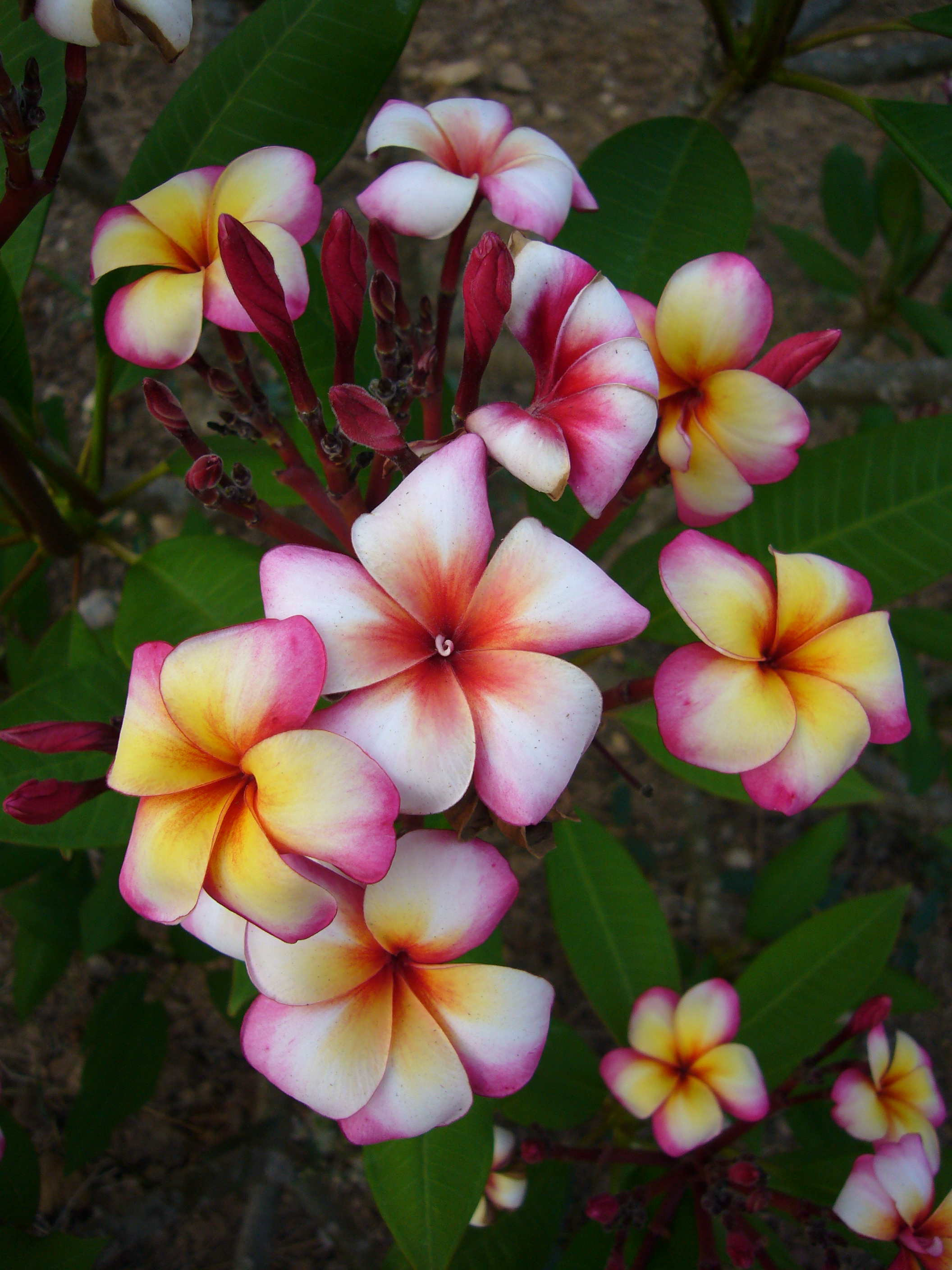 Plumeria Growing Guide Instructions Suttons Gardening