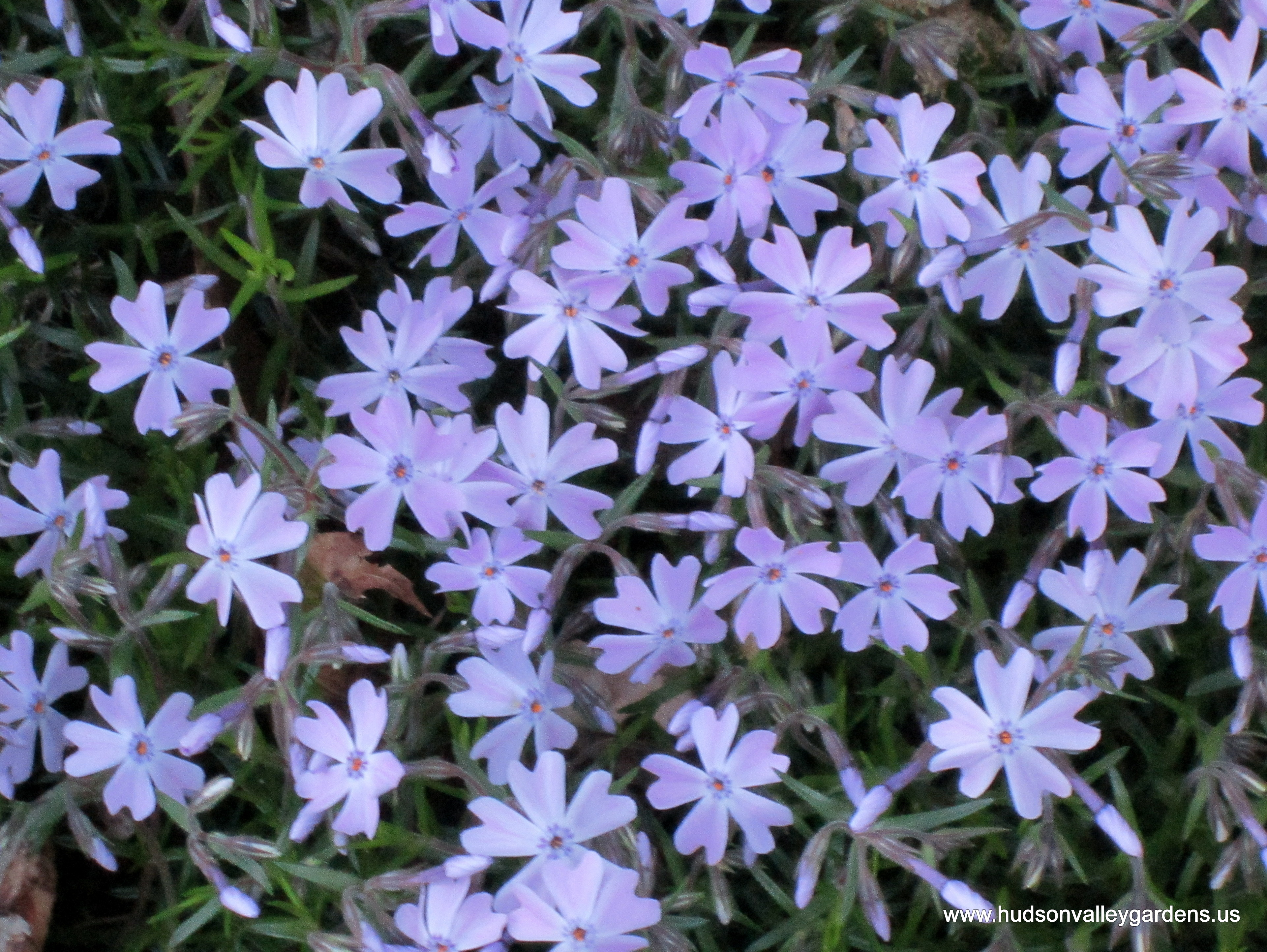 Fullsize Of Creeping Phlox Seeds