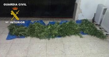 Plantas de marihuana en Cumbres Mayores.