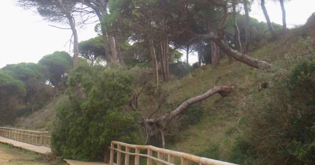 Uno de los pinos caídos.