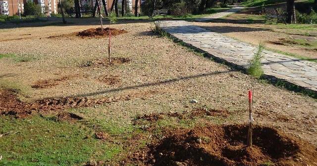 Pinos plantados en el parque Moret.