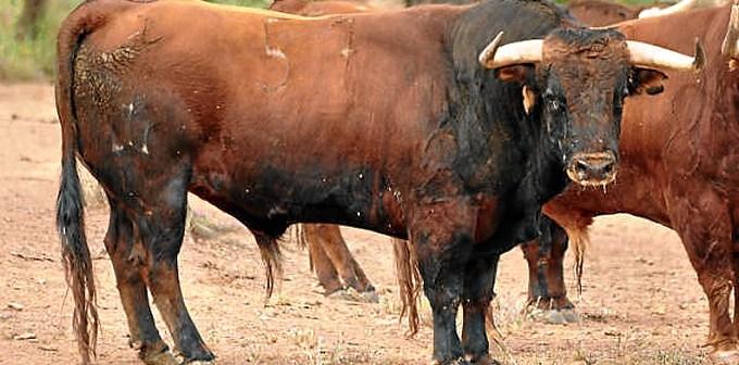Uno de los toros de Pereda para la feria de San Isidro en Madrid.
