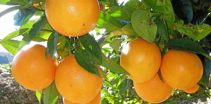 Mandarinas en un naranjo.
