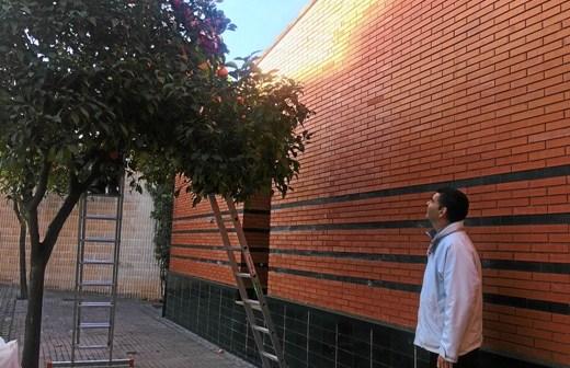 Recogida naranjas en Valverde del Camino