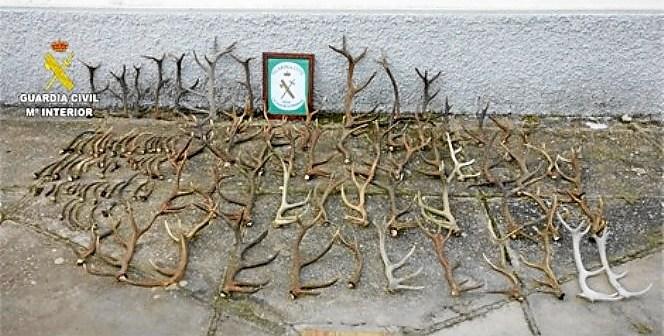 Cuernos de ciervos intervenidos a vecino de Fuenteheridos