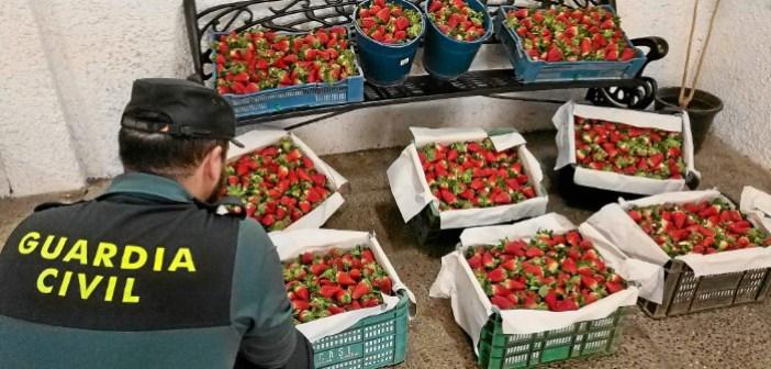 Robo de fresas en Almonte