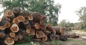 Alcornoques centenarios cortados en Almonte