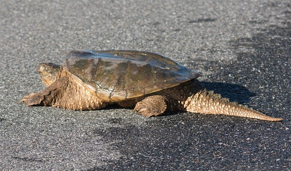 snapping-turtle-17