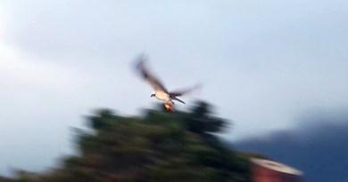 Águila pescadora con su presa